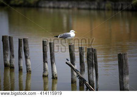 Po River (fe),  Italy - April 30, 2017: A Gull On A Trunk In Po River, Delta Regional Park, Emilia R