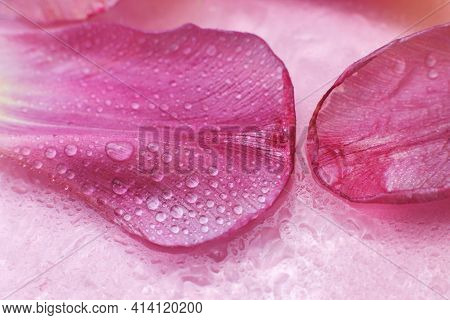 Close Up Pink Fresh Flowers Petals Of Tulips With Water Drops, Wet Petals, Natural Spring Background