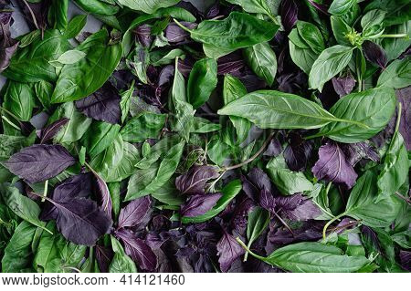 Green And Purple Basil Leaves Close Up. Moody Leaves Background. Top View. Flat Lay.