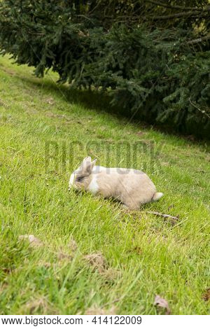 Brown Cream Young Rabbit Eating Grass On A Hill