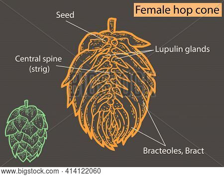 Flower, Hop Structure. Beer Ingredient. Education Agronomists And Brewers Neon Color.