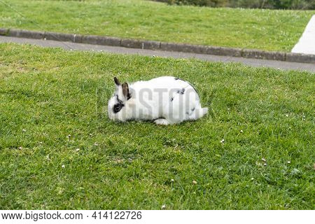 White Rabbit With Black Eyes On The Grass