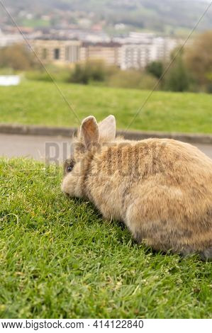 Ginger Rabbit Eating Grass On The Lawn In The Park