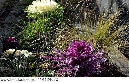 Flowerbed With Grasses And Ornamental Cabbage Of White And Purple Color On The Flowerbed