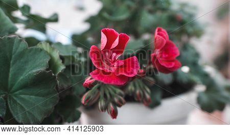 Homemade Geranium Flower, Blooming Red Geranium. Room Plant For Interior, Design. Breeding Geranium
