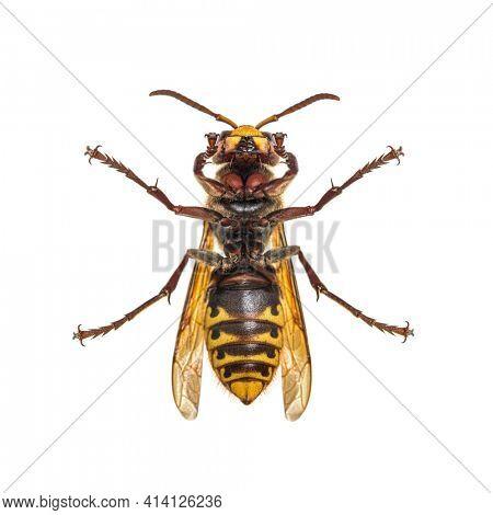 Hornet, Vespa Crabro, isolated on white