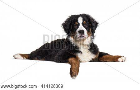 Lying down Bernese Mountain Dog