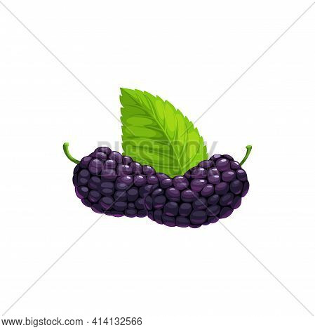 Ripe Mulberry Black Fruits With Leaf Isolated Flat Realistic Icon. Vector Mulberry Berries, Food Fro