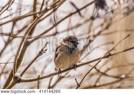 Eurasian Tree Sparrow (passer Montanus), Small Brown Bird Sitting On The Branch. First Snow With Ani