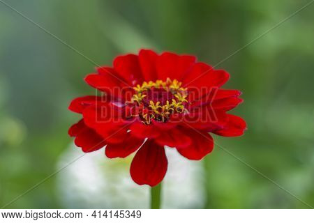 Beautiful Bright Red Zinnia Grows In The Garden.the Flowering Period