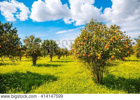 Perfect view of ripe juicy mandarin oranges in garden on tree branches. Location place Sicily, Italy, Europe. Agrarian industry. Farming in springtime. Photo wallpaper. Discover the beauty of world.