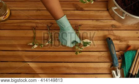 Girl Laying Out Seedlings In A Row On The Table. Home Garden Concept. Gardeners Working In The Plant