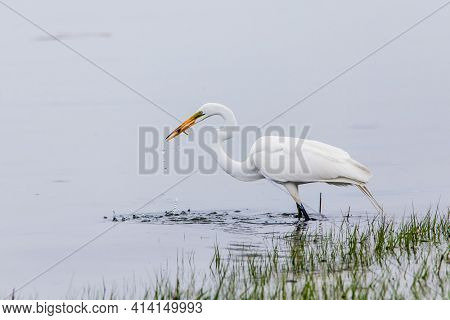 Great egret with fres caught fish in the beak