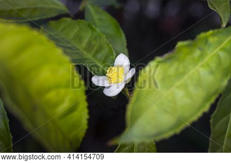 Flower Of Tea Plant Camellia Sinensis White Flower On A Branch, Chinese Tea Bush Blooming