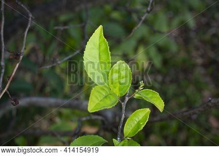 Young Green Tea, Sinensis Tea Leaves On A Branch