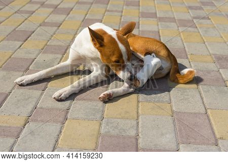 Cute Basenji Dog With Broken Bandaged Hind Feet Lying On A Pavement And  Trying To Take Off This Str