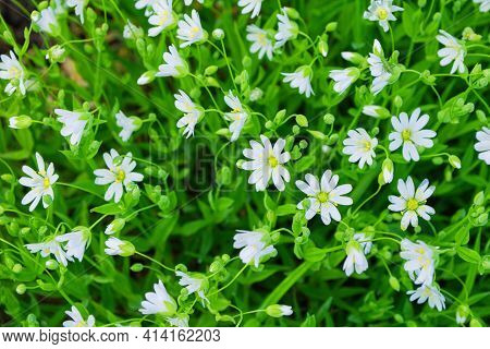 Floral Garden. White Flowers Alpine Mouse-ear Or Alpine Chickweed (latin: Cerastium Alpinum), Is A M
