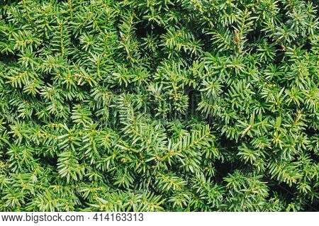 Thuja Hedge Texture. American Arborvitae Plant Pattern. Evergreen Thuja Occidentalis Type Decorative