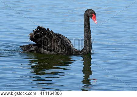 An Australian Black Swan, Cygnus Atratus Swims In A Blue Water Lake