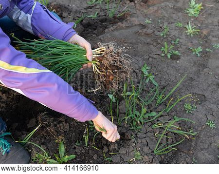 A Woman Harvests Onions In The Garden Beds. Harvesting.a Woman Harvests Onions In The Garden Beds. H
