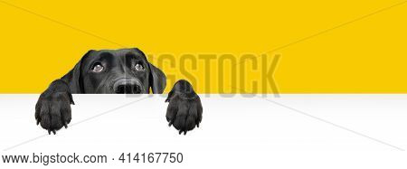 Close-up  Hide Black Labrador Dog Looking Up Giving You Whale Eye Hanging Over A Blank Sign With Roo