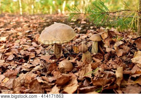 Edible Brown Cap Boletus Among The Grass And Moss In Autumn Forest. Awesome Fungus Aspen Mushroom Ag