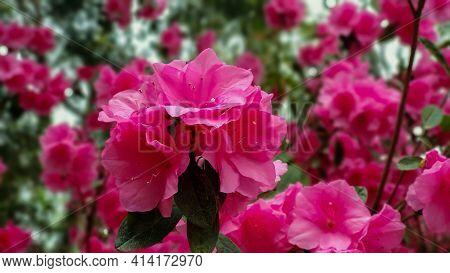 Pink Azaleas In Bloom On The Alabama Gulf Coast