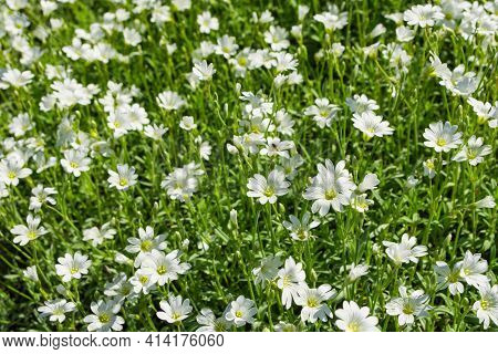 Floral Garden. Natural Background Of Flowers. Alpine Mouse-ear Or Alpine Chickweed (latin: Cerastium