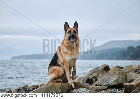 Shepherd Dog Show Breeding Black And Red Color And Space For Text. German Shepherd On Rocky Beach. D