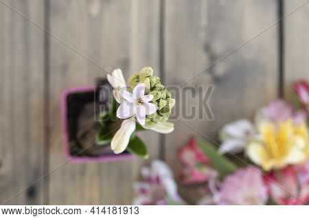 The Hyacinth Begins To Bloom Against A Blurred Background Of Wood And Flowers. One Blooming Hyacinth