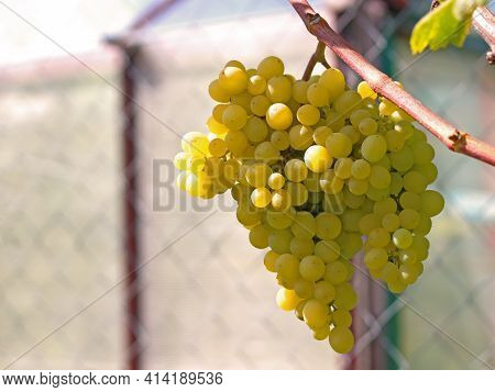 Ripe White Grape Bunch Hanging On The Vine. Eco-friendly Manor Farm. Vine Agriculture Concept. Home