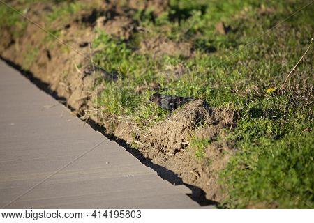 Single Male Brown-headed Cowbird (molothrus Ater) Strutting Down A Hill Near A Sidewalk