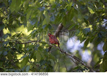Male Cardinal (cardinalis Cardinalis) Hiding On A Tree Branch