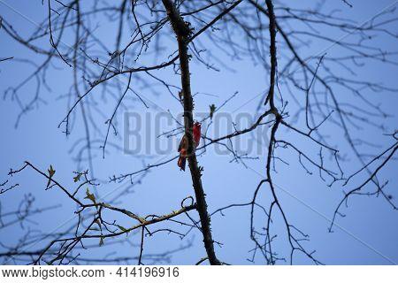 Male Cardinal (cardinalis Cardinalis) Perched On A Branch At Dusk