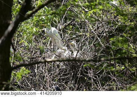 Great Egret (ardea Alba) Parent Watching Over Its Chicks