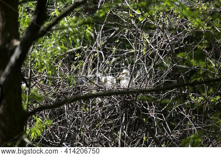 Great Egret (ardea Alba) Chicks Waiting On Their Parent To Come Home