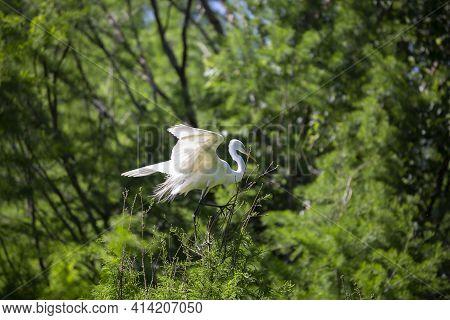 Great Egret (ardea Alba) Landing On A Tree Top