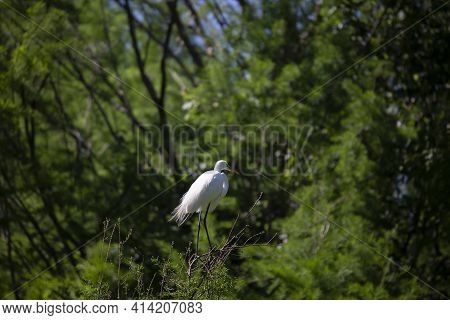 Great Egret (ardea Alba) Watching Its Surroundings From A Tree Top