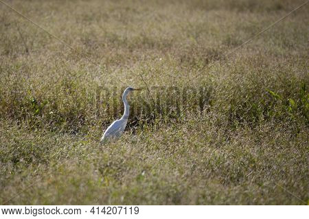 Great Egret (ardea Alba) Quietly Hunting In A Marsh