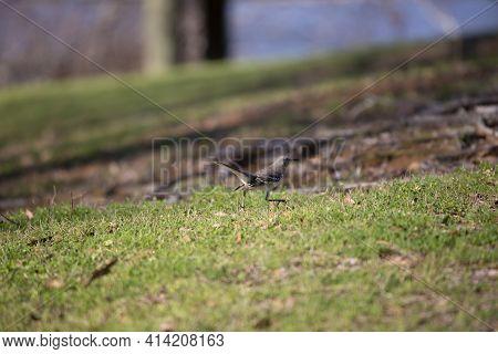 Northern Mockingbird (mimus Poslyglotto) Strutting On A Well-manicured Lawn