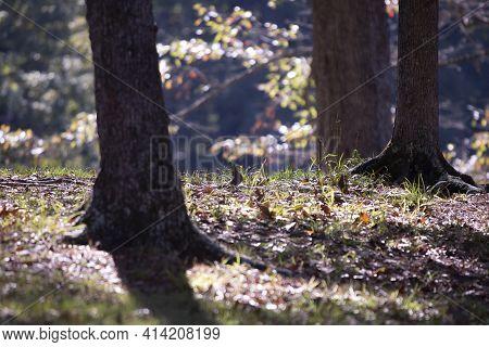 Mourning Dove (zenaida Macroura) Hiding Majestically Between Trees
