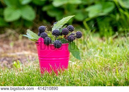 Black Raspberry Cumberland In A Decorative Bucket. Growing And Selling Raspberries. Raspberry Harves