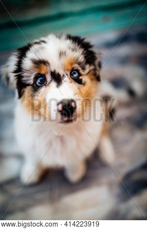 Australian shepherd puppy dog portrait