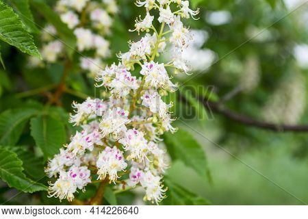 Foliage And Flowers Of Chestnut. Blossoming Chestnut Tree. Chestnut Flowers.