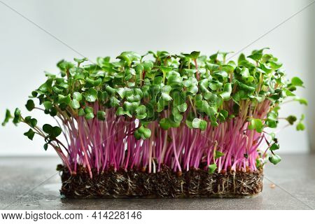 Micro Green Sprouts Of Radish On Grey Background.spring Avitaminosis. Sprouts Of Peas Vegetable, Gro
