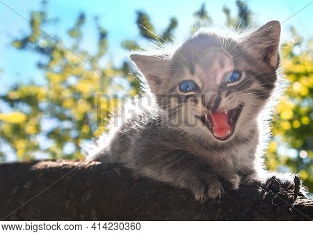 A Small Gray Fluffy Kitten With Blue Eyes Meows In Fright On A Tree Branch Against A Background Of G