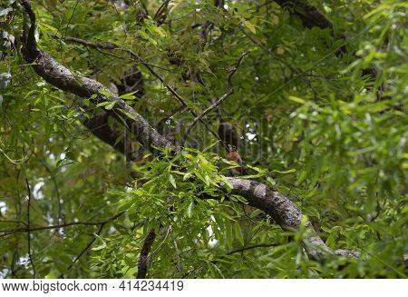 Inquisitive American Robin (turdus Migratorius) Perched On A Tree Limb