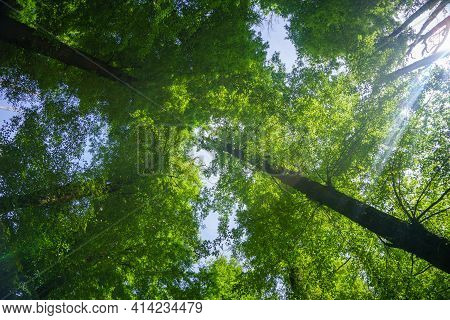 Beech Trees With Lime Green Leaves Towering Overhead With Light Streaming In From Side.