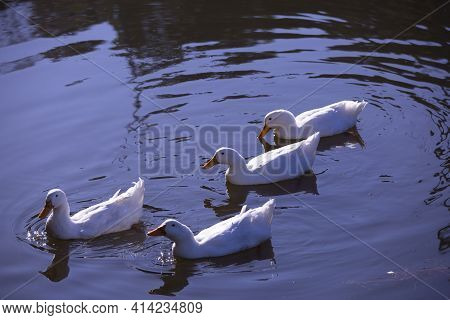 Four Snow Geese (chen Caerulescens) Swimming Across A Waterway