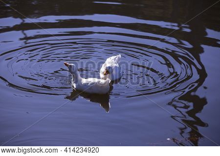 Two Snow Geese (chen Caerulescens) Swimming Across A Waterway